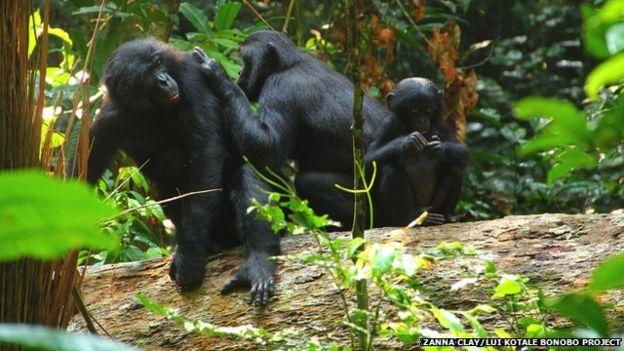 倭黑猩猩的交流