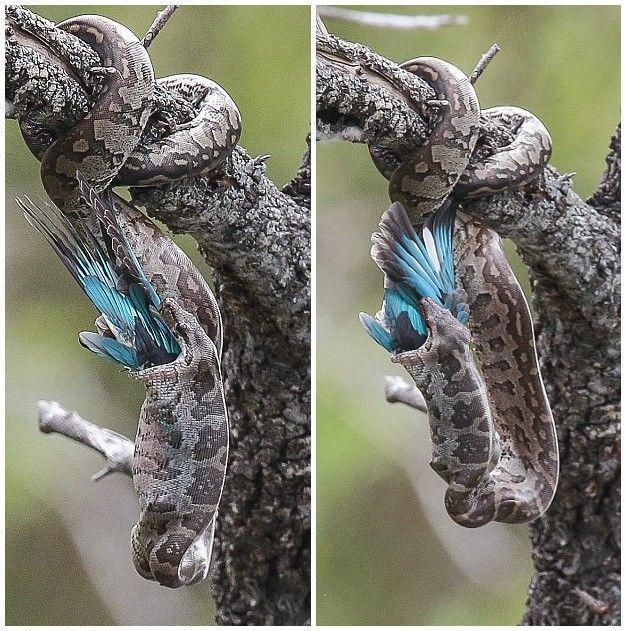 南非克鲁格国家公园巨蟒猎杀翠鸟