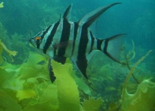 研究员更发现长吻豚鼻鱼的踪影