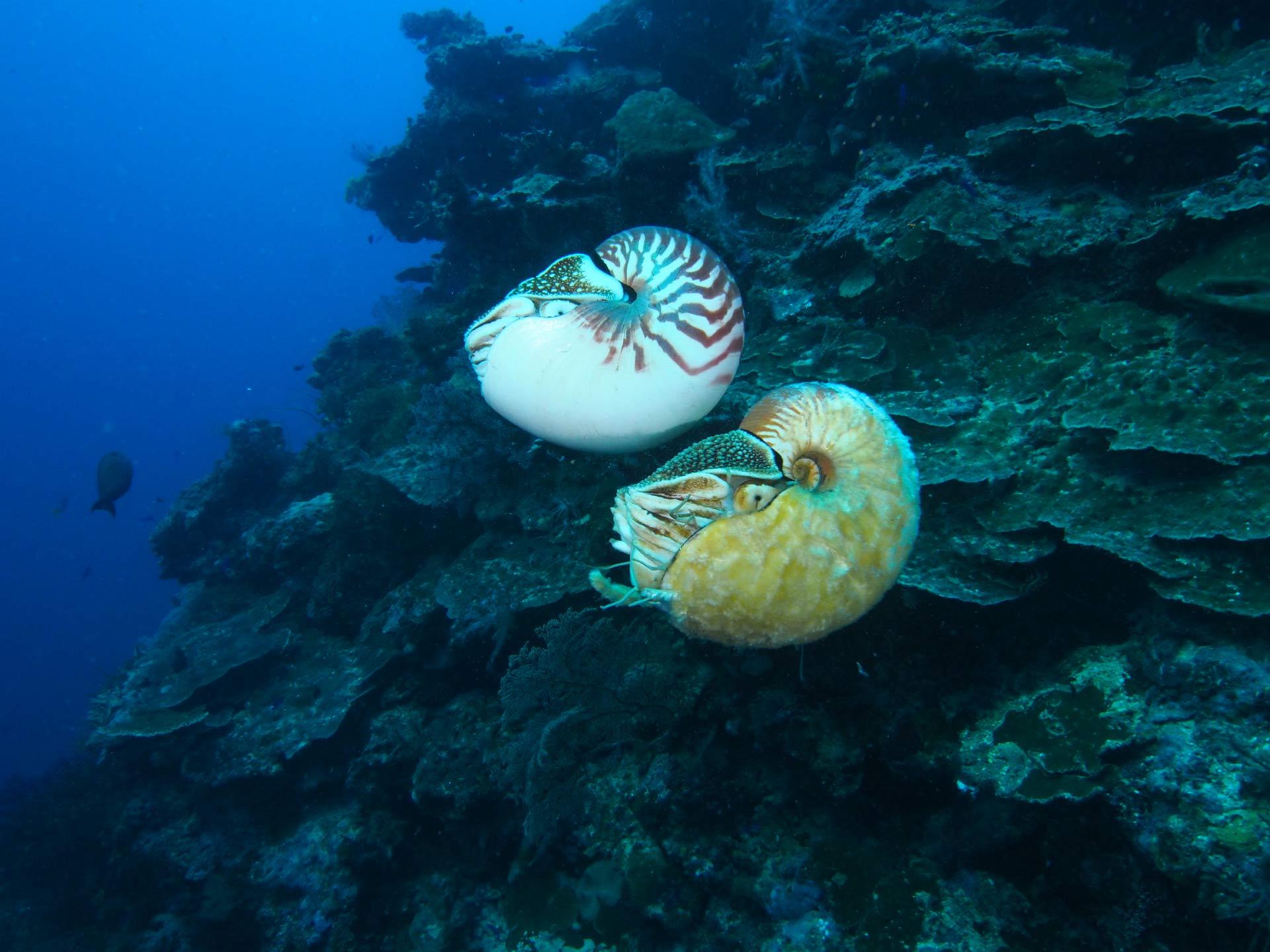 美国科学家海底发现超稀有海洋生物活化石异鹦鹉螺(Allonautilus scrobiculatus)