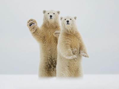"""阿拉斯加北极国家野生动物庇护所北极熊""""打招呼"""""""