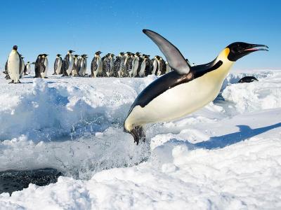 南极洲古尔德湾一只皇帝企鹅破水而出