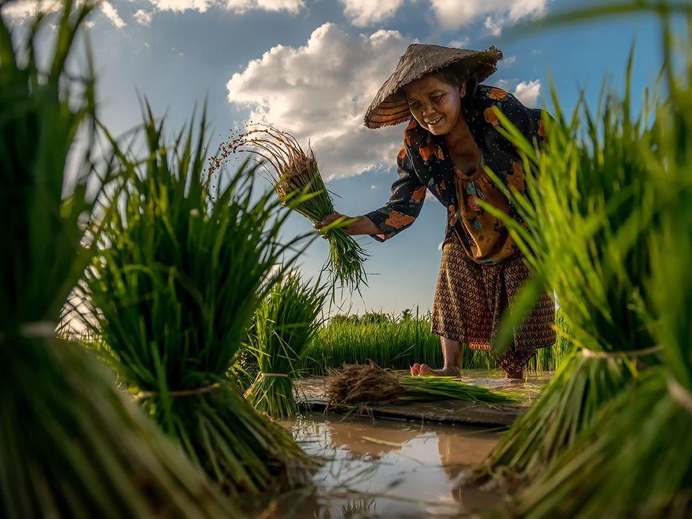 框中之景:泰国一位妇人在田里收成稻米