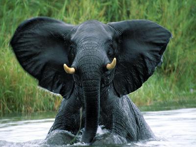 马拉威的利旺德国家公园水中的大象