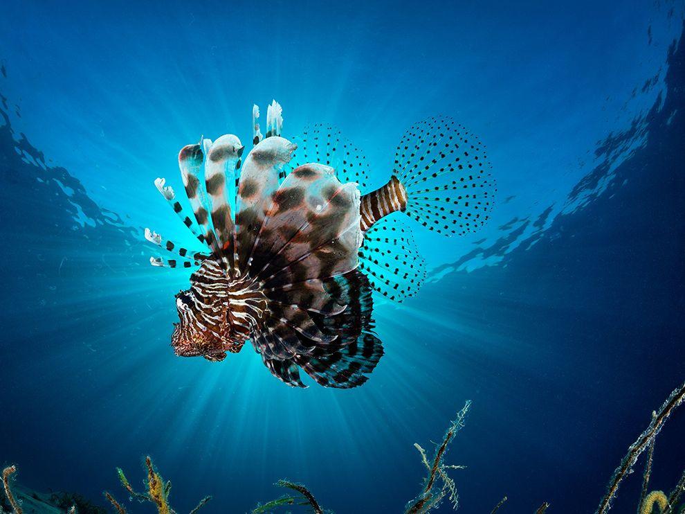 红海的斑鳍蓑鮋(狮子鱼)