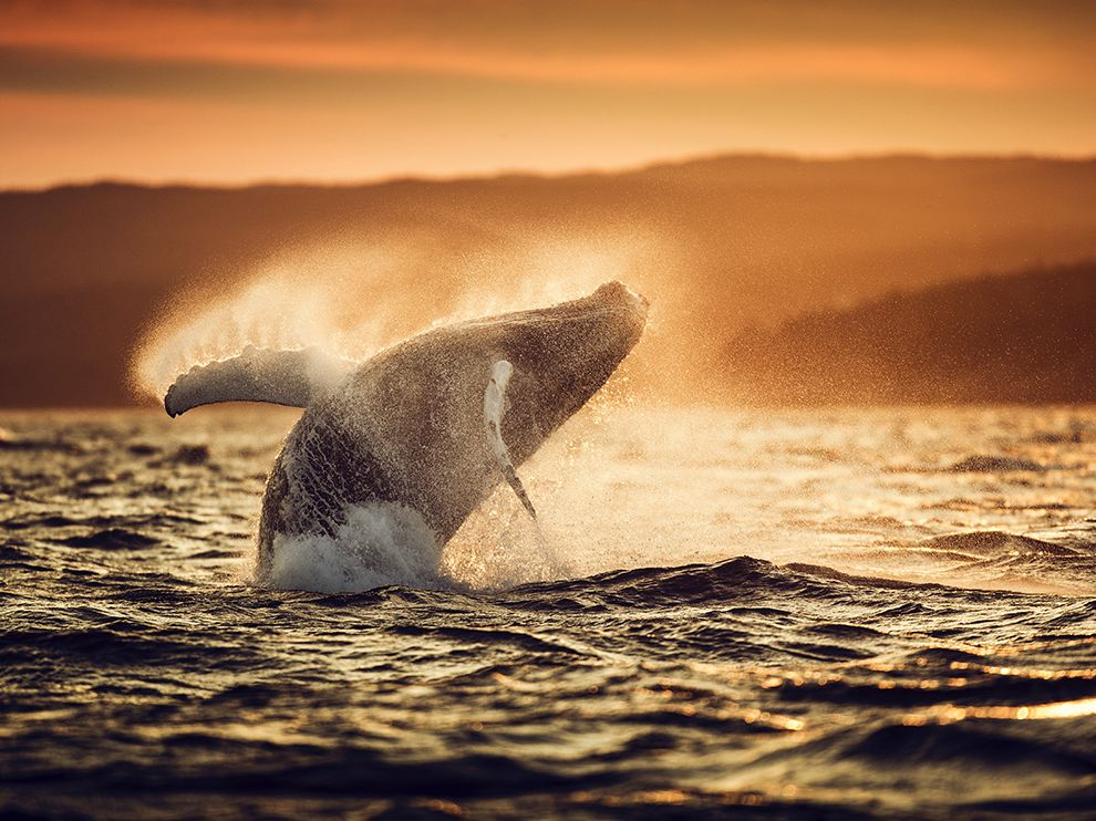 加拿大维勒士湾的大翅鲸