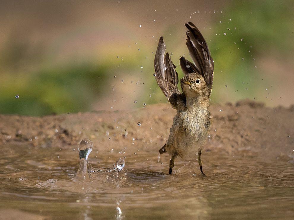 一只柳莺在科威特艾赫麦迪一池水洼里鼓动翅膀