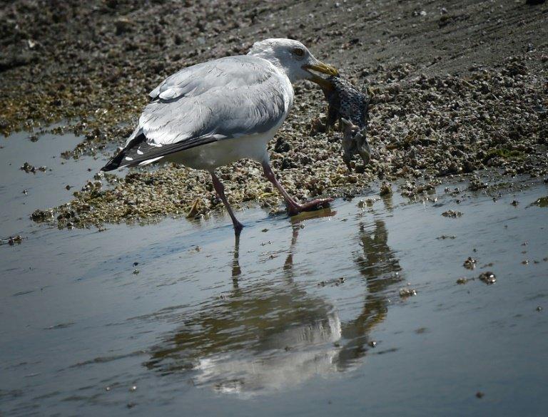 海洋塑料碎片可能对大多数海鸟物种构成风险