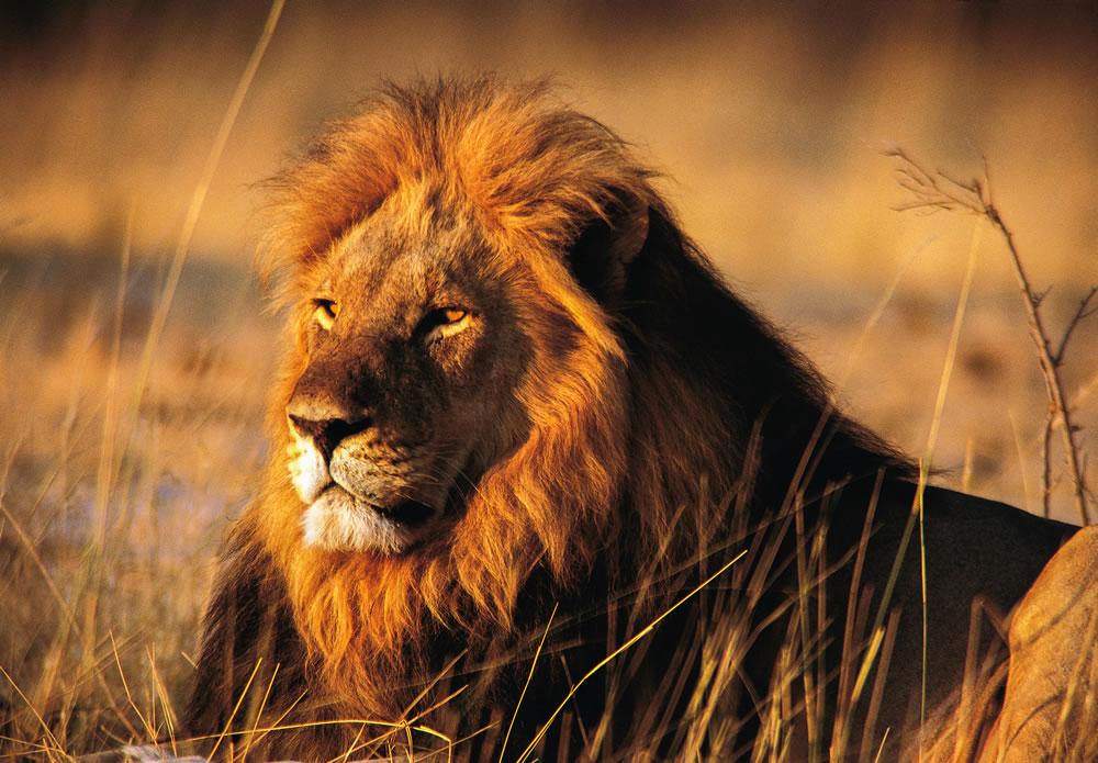 一只雄狮在万基国家公园里,一个导游在这里丧命。万基国家公园也是狮子塞西尔的故乡。 PHOTOGRAPH BY