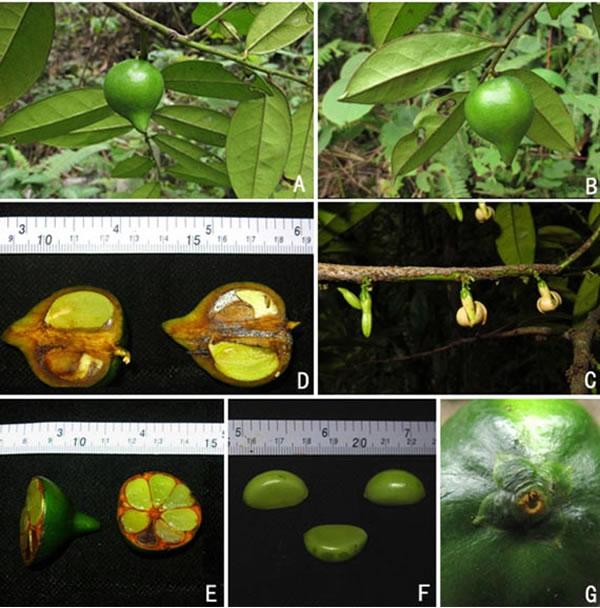 广西石灰岩地区柿属一新种——李树刚柿