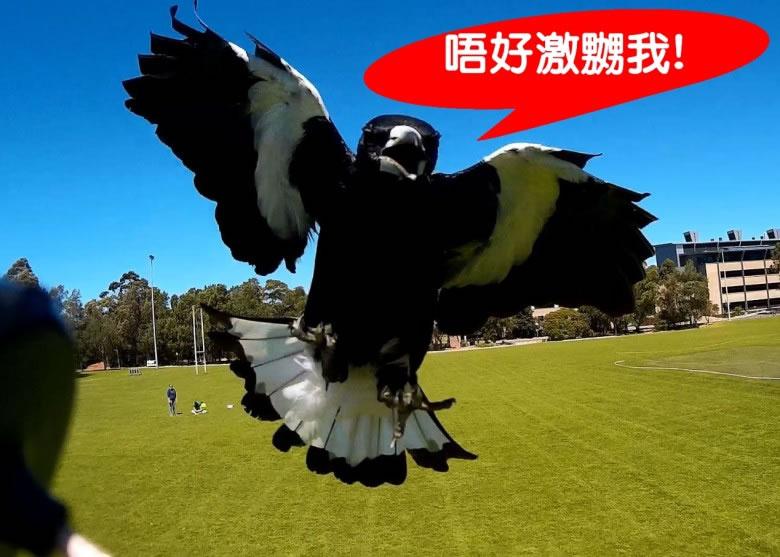 澳洲研究指喜鹊能辨别人类的样子