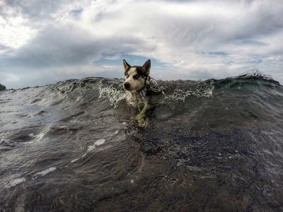 哈士奇在巴里岛土蓝奔海边游泳
