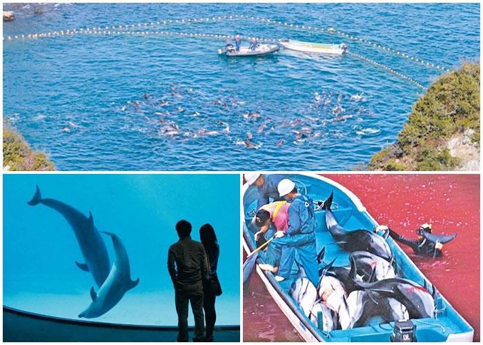 太地町每年均捕杀大量海豚