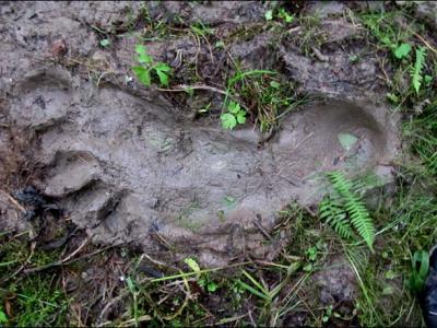 雪人再次出现?俄罗斯西伯利亚发现巨大脚印