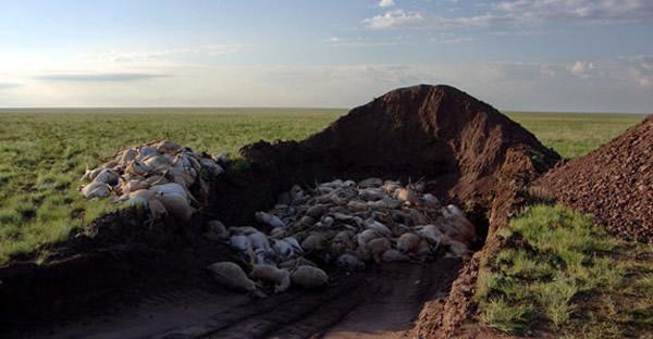 研究人员为死亡的羊只埋葬