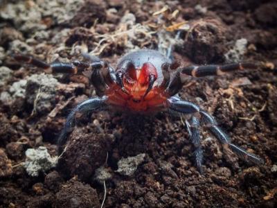 澳洲发现有红色毒牙的神秘漏斗网蜘蛛Atrax sutherlandi