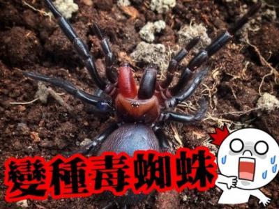 澳洲新南威尔士省森林发现变种漏斗网蜘蛛 血红毒牙可释毒液