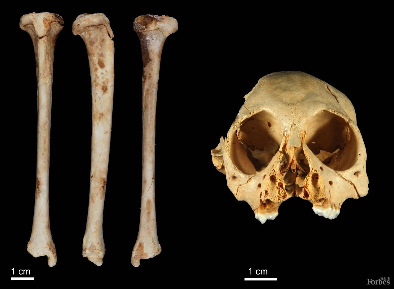 伊斯帕尼奥拉猴的遗骸(图片来源:西沃恩·布克)