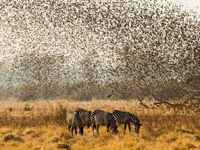 赞比亚南卢安瓜数千只奎利亚雀从灌木丛中飞出来