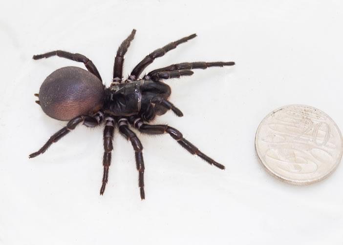 这只新品种的漏斗网蜘蛛,体型庞大。