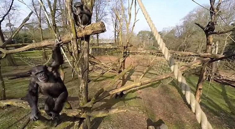 《灵长类》杂志:黑猩猩用木棍将无人机击落进行过深思熟虑