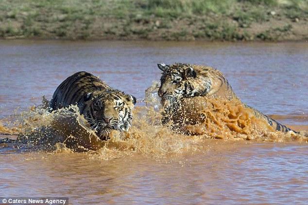 两只老虎好兄弟:扑通跳下水背溺水兄弟上岸