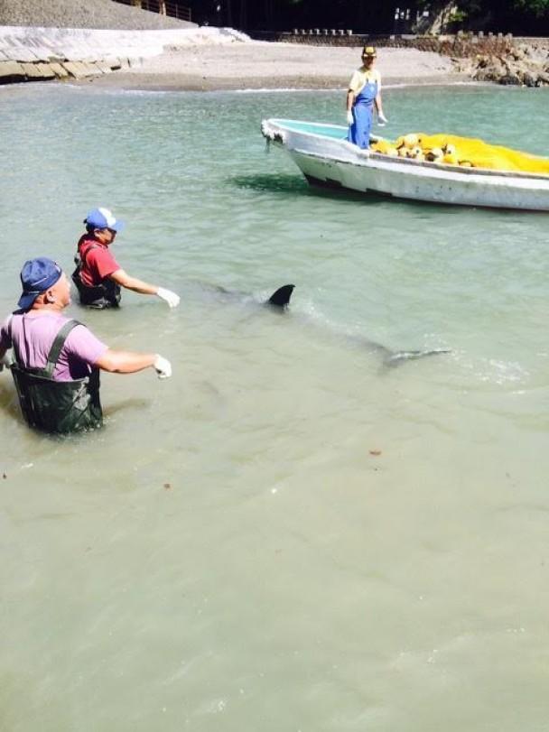 渔民伺机上前猎杀海豚。