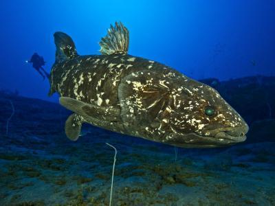 新研究确认活着的腔棘鱼有肺的存在 但不再具有任何实际功能