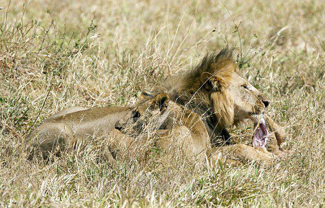 坦桑尼亚塔伦吉尔国家公园雄狮占有雌狮并杀死它的孩子