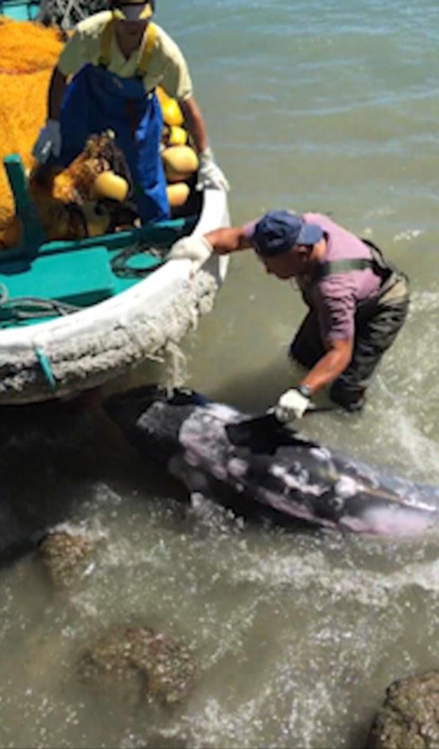 日本太地町一只为躲避捕杀的海豚冲到海岸岩石上 被赶来的渔民又拖回海里