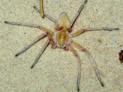科学家在纳米比亚沙漠发现高脚蛛新种属和4种相关新物种