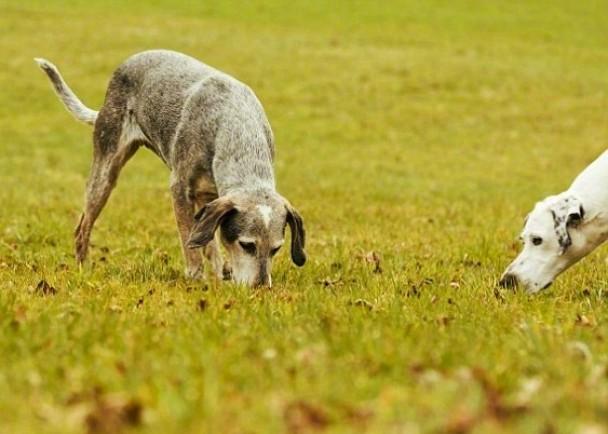 研究显示狗只会先用记忆力,去判断食物位置。
