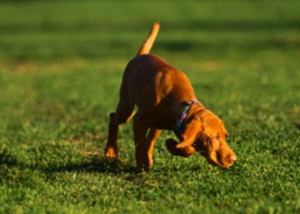 人类向来觉得狗只嗅觉能力超强