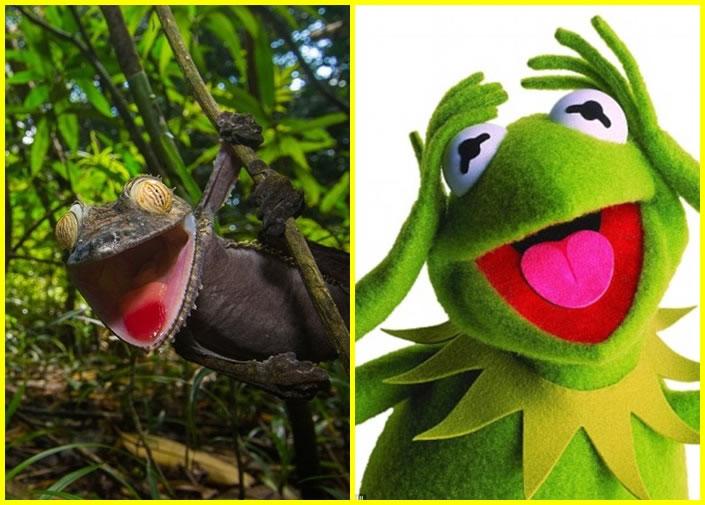 该条变色龙(左图)张开口,貌似布偶青蛙(右图),搞笑有馀,惊吓不足。