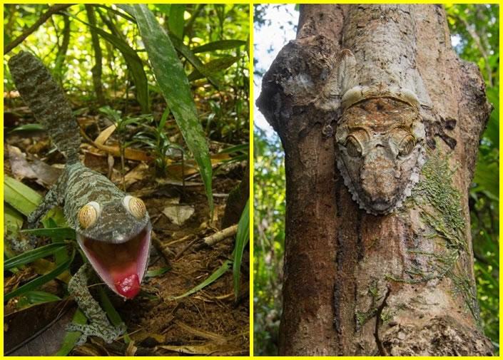 该条变色龙隐身树干上(右图),难以发现。