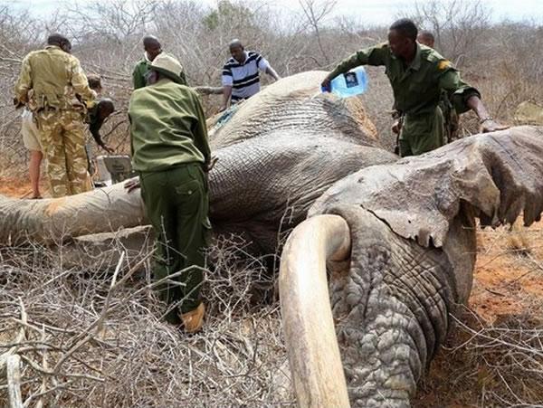 肯尼亚3只野生大象被盗猎者用毒箭射伤 自己走到附近庇护所寻求帮助