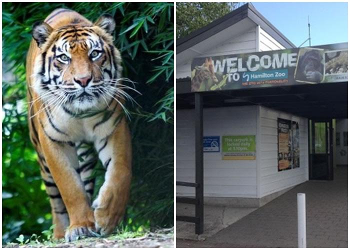 哈密尔顿动物园有女职员被老虎咬死,左图为园内其他老虎。