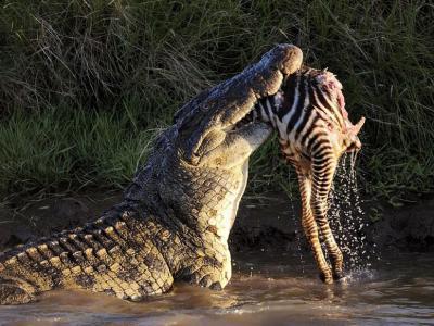 肯尼亚马赛马拉国家自然保护区马拉河尼罗鳄围攻迁徙斑马