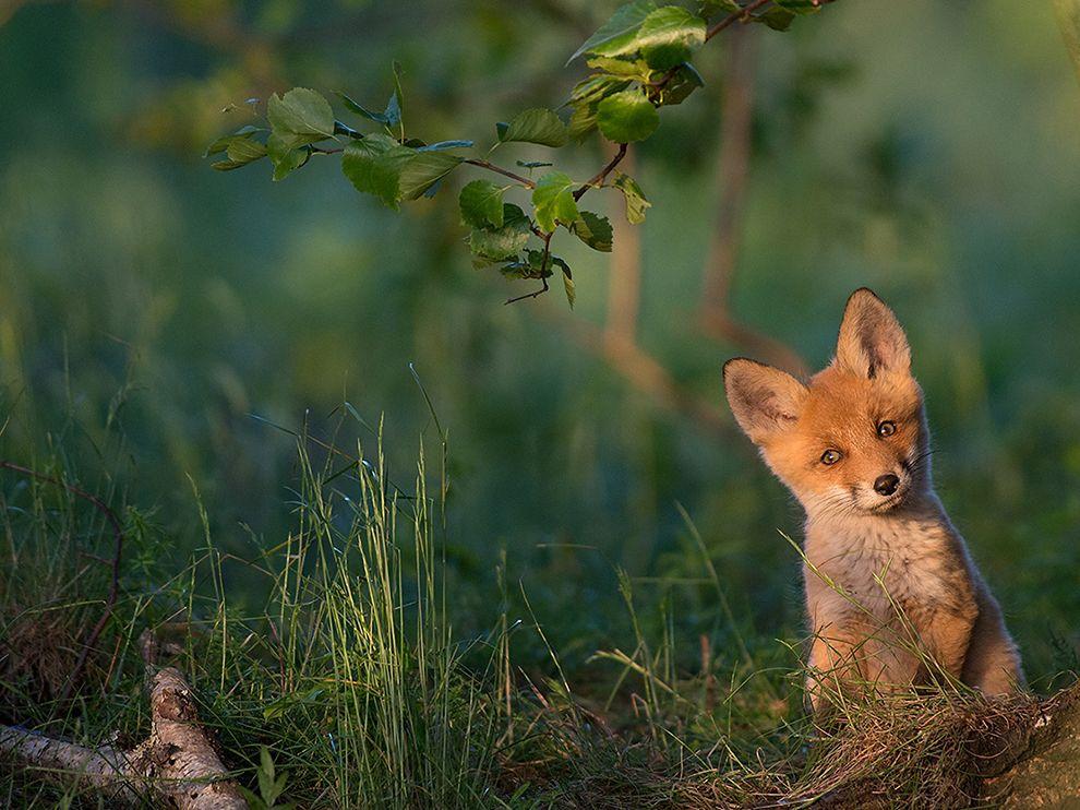 小狐狸从它在爱沙尼亚南部的巢穴里出现