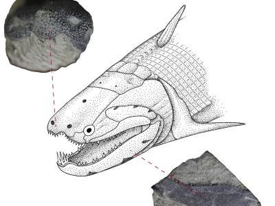 最新研究发现牙釉质很可能起源于原始鱼类的鳞片