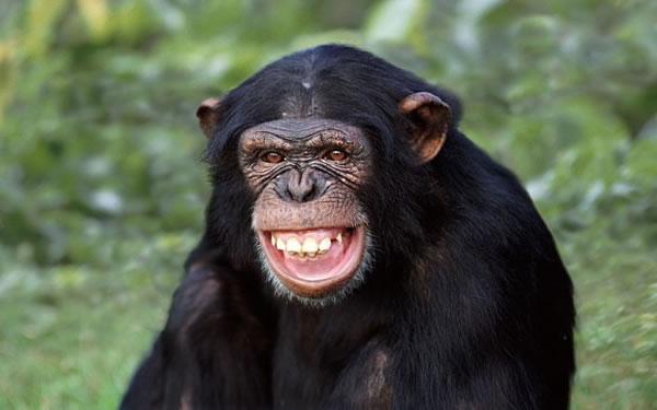 研究发现黑猩猩不仅能看懂电影 并能将影片中的场景吸收消化转为长期记忆