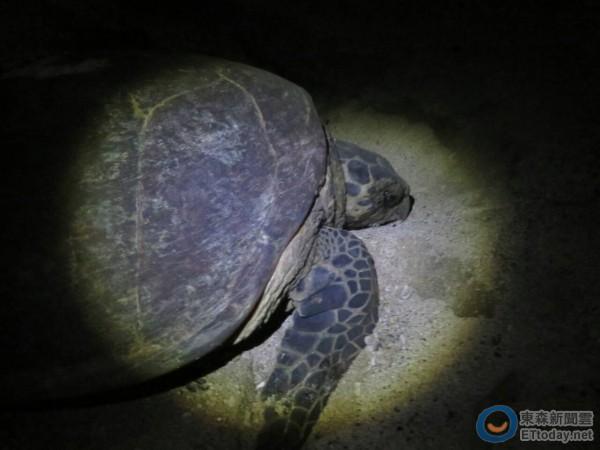 玳瑁海龟首次到澎湖产卵,是保育的重大发现。(图/澎湖县政府提供)