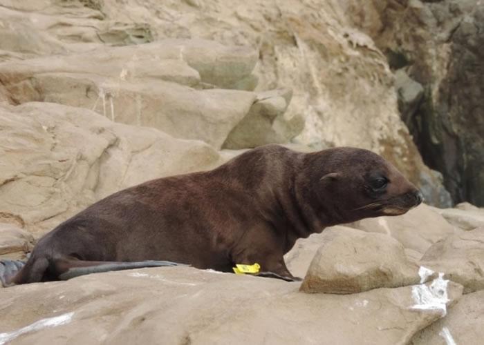 加州今年有大批海狗死亡或搁浅