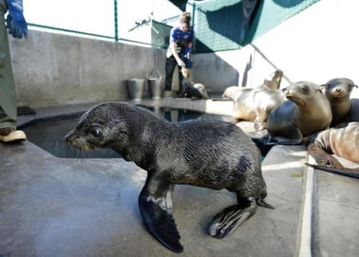 当局指若海洋温度继续上升,会令海洋生物减少,导致海狗缺乏食物而死。