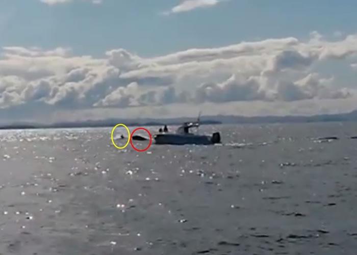 片段可见一条杀人鲸(红圈)跃出海面,欲捕猎一条海豚(黄圈)。