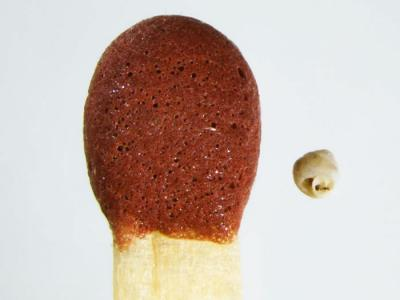 中国广西发现世界最小的陆生蜗牛