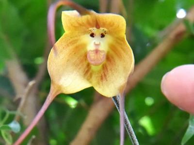 """日本京都府立植物园温室大棚内""""猴面小龙兰""""开花"""