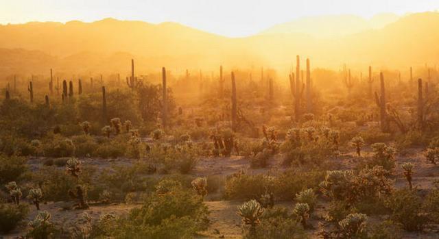 图中是索诺兰沙漠中的仙人掌,最新研究显示,全球接近30%的仙人掌品种濒危灭绝。