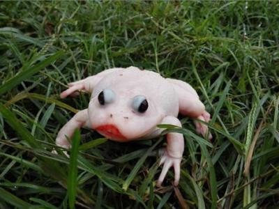 湖北武汉发现白化症牛蛙 专家称出现基因变异