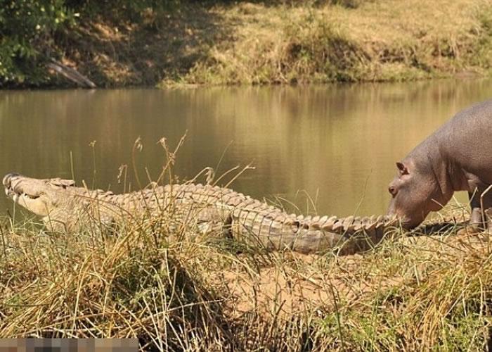 小河马对鳄鱼深感好奇,走前引其注意。